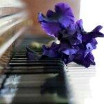 ピアノ鍵盤にパープルの花